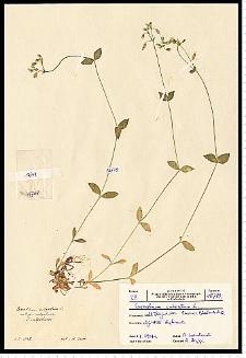 Cerastium holosteoides Fr. em. Hyl.