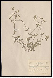 Celestium holosteoides Fries emend. Hyl.