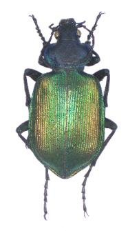 Calosoma sycophanta (Linnaeus, 1758)
