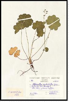 Alchemilla cymatophylla Juz.