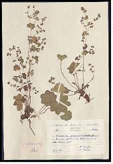 Alchemilla glabricaulis H. Lindb.