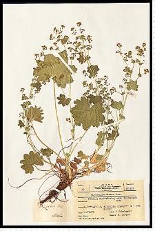 Alchemilla gracilis Opiz