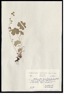 Alchemilla hirsuticaulis H. Lindb.