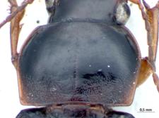 Harpalus griseus (Panzer, 1796e)