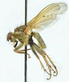 Scathophaga stercoraria (Linnaeus, 1758)