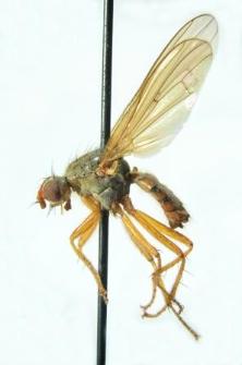 Scathophaga inquinata Meigen, 1826