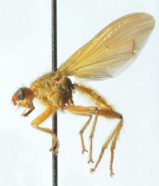 Scathophaga scybalaria (Linnaeus, 1758)