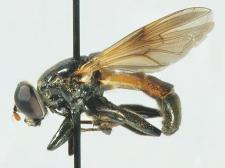 Myolepta dubia (Fabricius, 1805)