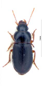 Harpalus luteicornis (Duftschmid, 1812)