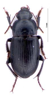 Harpalus melancholicus (Dejean, 1829a)