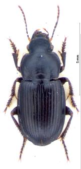 Harpalus neglectus (Audinet-Serville, 1821)