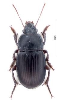 Harpalus politus (Dejean, 1829a)