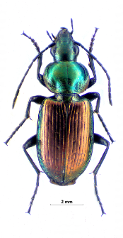 Agonum sexpunctatum (Linnaeus, 1758)