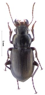 Amara gebleri (Dejean, 1831a)