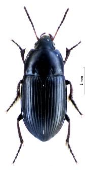 Amara tricuspidata (Dejean, 1831a)