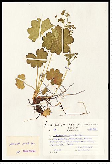Alchemilla plicata Buser