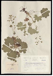 Alchemilla propinqua H. Lindb.