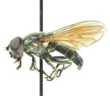 Cheilosia gigantea (Zetterstedt, 1838)