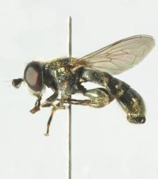 Eumerus strigatus (Fallen, 1817)