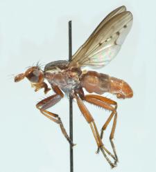 Hydromya dorsalis (Fabricius, 1775)