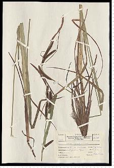 Carex gracilis Curtis