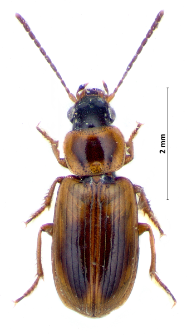 Acupalpus parvulus (J. Sturm, 1825)