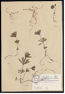 Galium odoratum (L.) Scop.