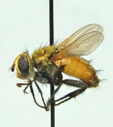 Eliozeta helluo (Fabricius, 1805)