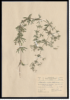 Galium rivale (Sibth. & Sm.) Griseb.