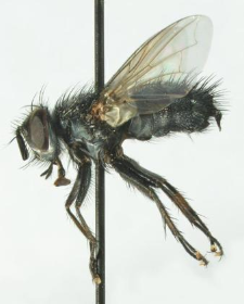 Pales pavida (Meigen, 1824)