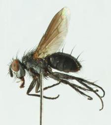 Periscepsia carbonaria (Panzer, 1798)