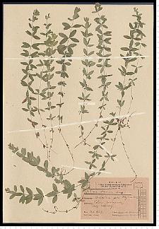 Cruciata glabra (L.) Ehrend.