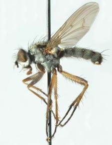 Eustalomyia vittipes (Zetterstedt, 1845)
