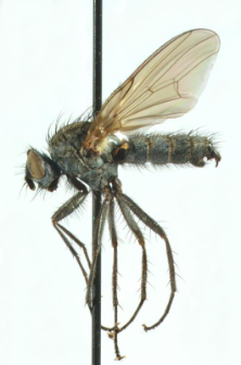 Paradelia lunatifrons (Zetterstedt, 1845)