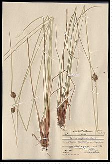 Juncus conglomeratus L. em. Leers