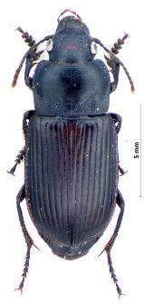 Anisodactylus signatus (Panzer, 1796e)