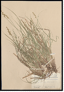 Carex elongata L.