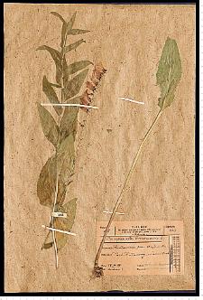 Campanula bononiensis L.