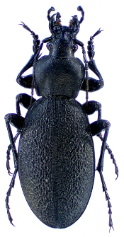 Carabus coriaceus rugifer (Kraatz, 1877g)