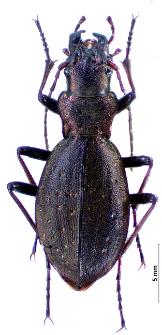 Carabus irregularis montandoni (Buysson, 1882)