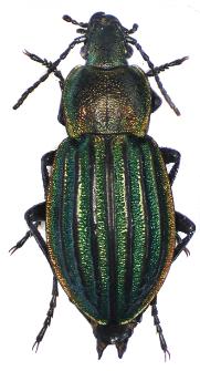 Carabus nitens (Linnaeus, 1758)