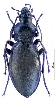 Carabus violaceus andrzejuscii (Fischer von Waldheim, 1823)