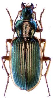 Chlaenius spoliatus (P. Rossi, 1792)