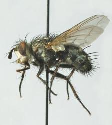 Linnaemya picta (Meigen, 1824) F 089