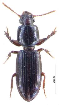 Clivina fossor (Linnaeus, 1758)