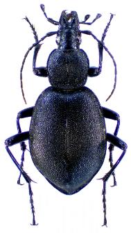 Cychrus caraboides (Linnaeus, 1758)