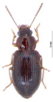 Bradycellus harpalinus (Audinet-Serville, 1821)