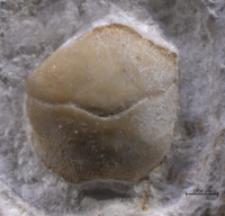 Eodromites grandis
