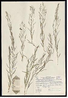 Thesium ebracteatum Hayne