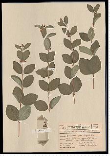 Symphoricarpos albus (L.) S. F. Blake